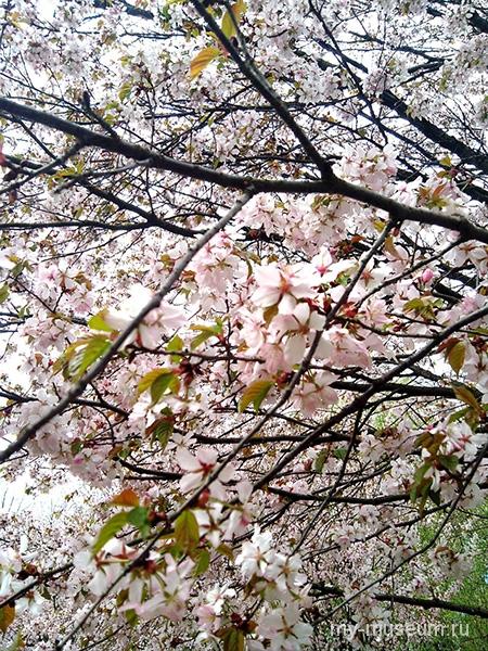 Японский сад цветение сакуры