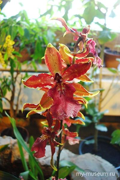 Орхидея Аптекарский огород