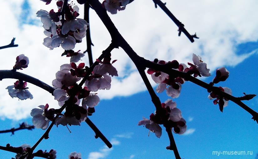 Цветение сакуры в Японском саду